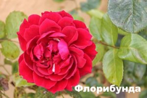 Роза флорибунда красного цвета