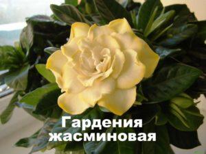Растение Гардения жасминовая