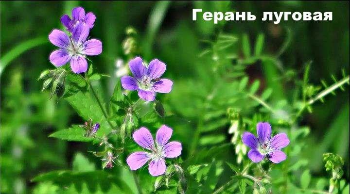 Луговой цветок - Герань луговая