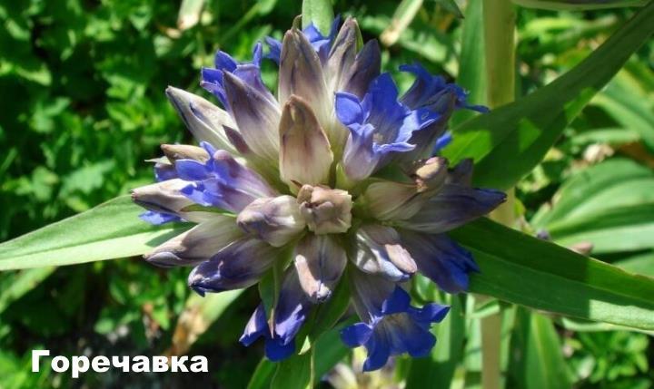 Луговой цветок - Горечавка