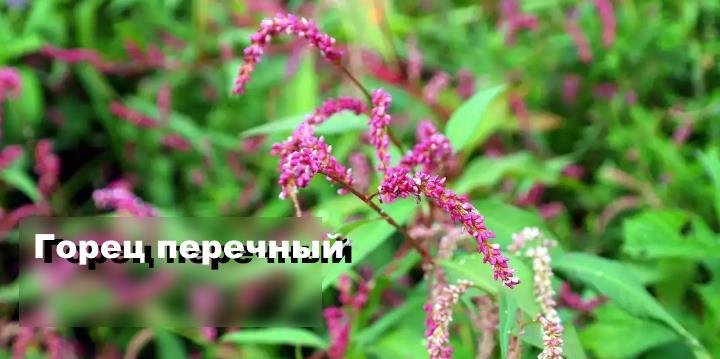 Луговой цветок - Горец перечный