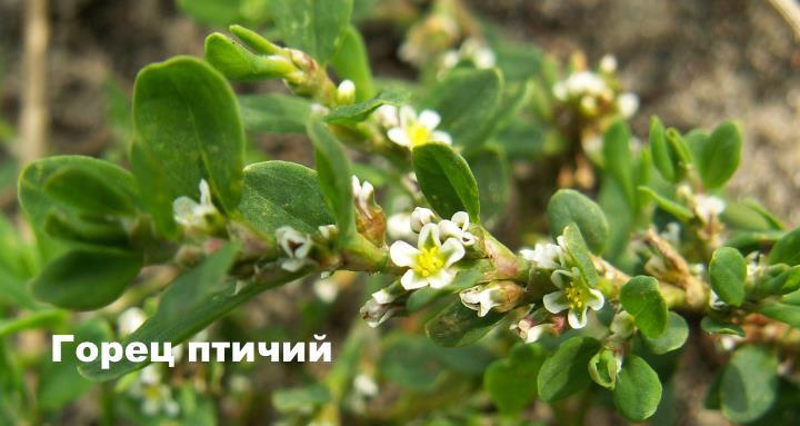 Луговой цветок - Горец птичий
