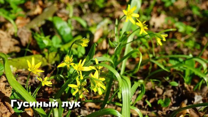 Луговой цветок - Гусиный лук