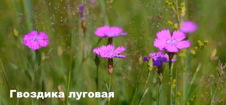 Луговой цветок - Гвоздика луговая