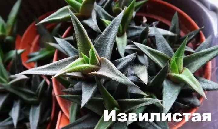 Вид растения - Хавортия извилистая