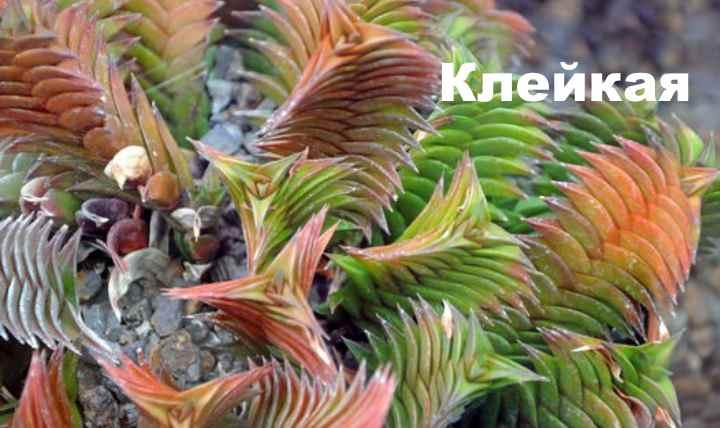 Вид растения - Хавортия клейкая