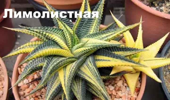 Вид растения - Хавортия лимолистная