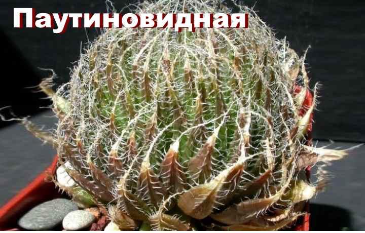 Вид растения - Хавортия паутиновидная