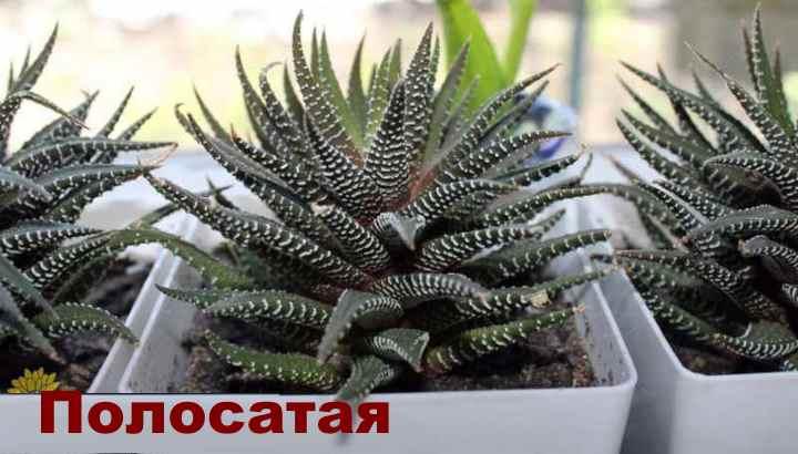 Вид растения - Хавортия полосатая