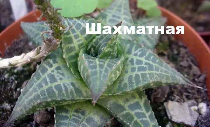 Вид растения - Хавортия шахматная