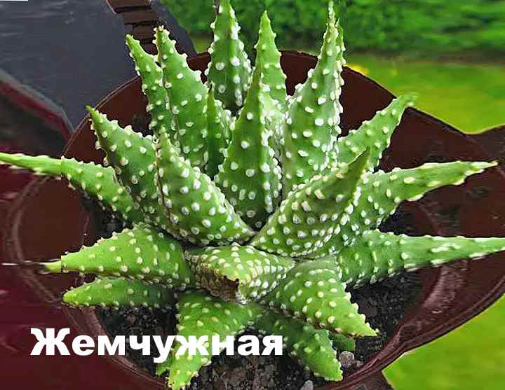 Вид растения - Хавортия жемчужная
