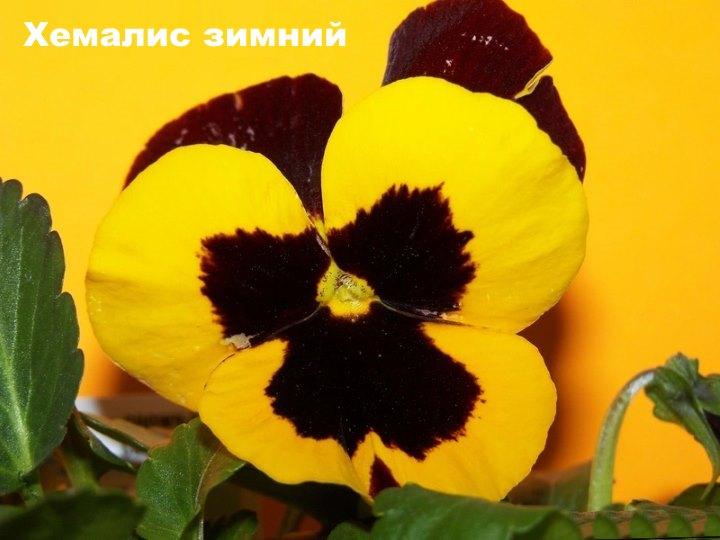Анютины глазки сорта Хемалис зимний