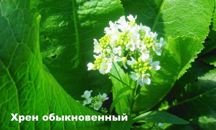 Луговой цветок - Хрен обыкновенный