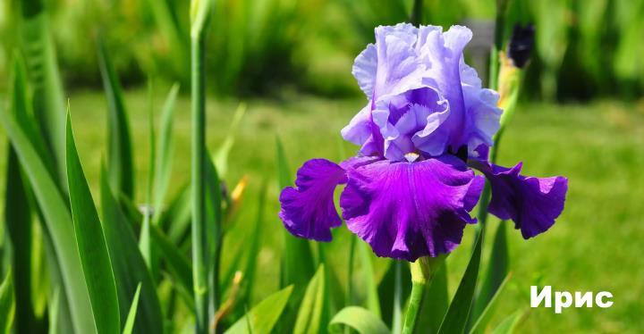 Луговой цветок - Ирис