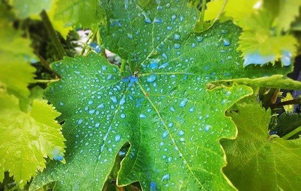 Капли бордоской жидкости на винограде