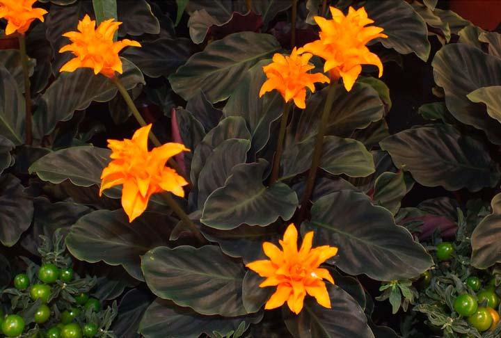 Цветок Калатея шафрановая