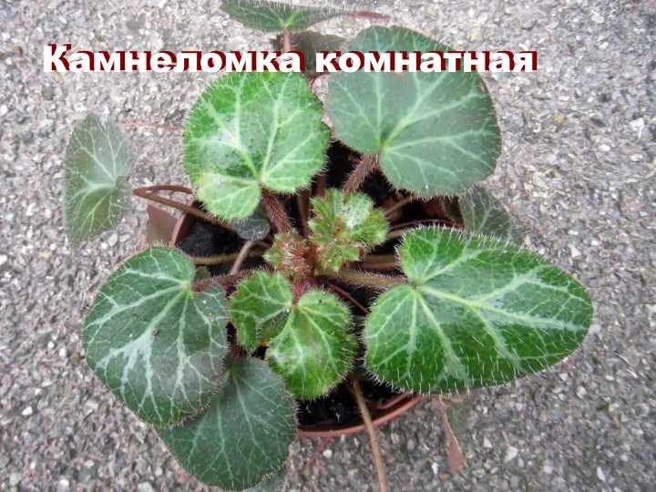 Вид растения - Камнеломка комнатная