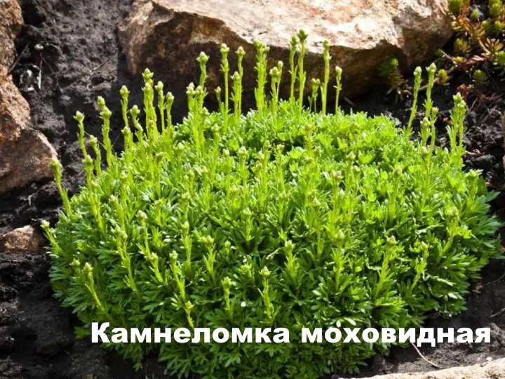 Вид растения - Камнеломка моховидная
