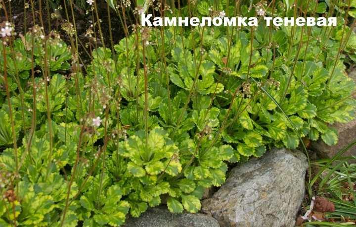Вид растения - Камнеломка теневая