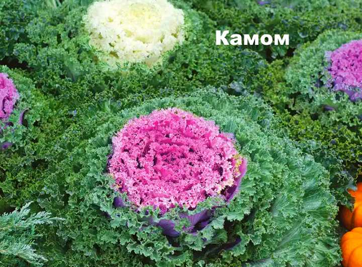 Декоративная капуста сорта Камом
