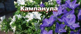 Растение Кампанула