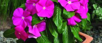 Растение Катарантус