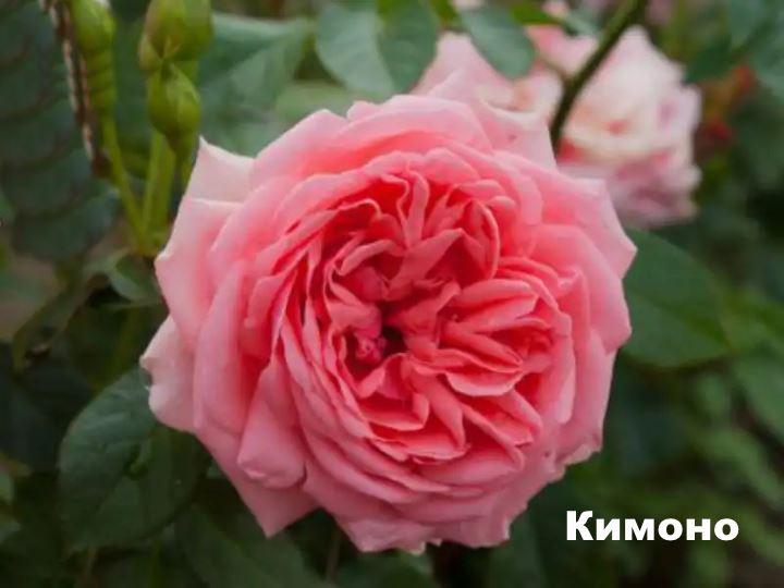 Вид флорибунды - Кимоно