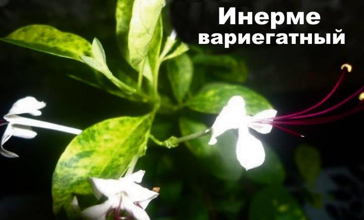 Вид растения Клеродендрум - Инерме вариегатный
