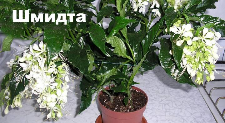 Вид растения Клеродендрум - Шмидта
