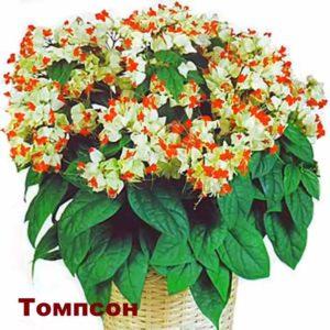 Вид растения Клеродендрум - Томпсон