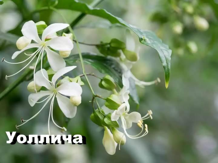 Вид растения Клеродендрум - Уоллича
