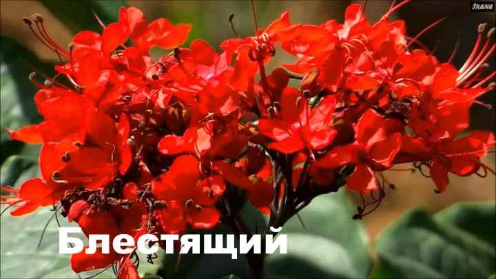 Вид растения Клеродендрум - блестящий