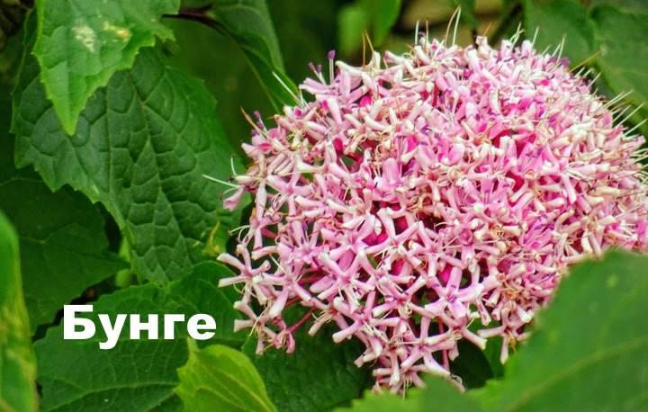 Вид растения Клеродендрум - бунге