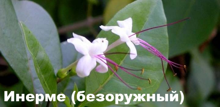 Вид растения Клеродендрум - инерме (безоружный)