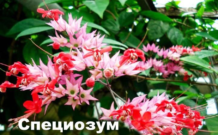 Вид растения Клеродендрум - специозум