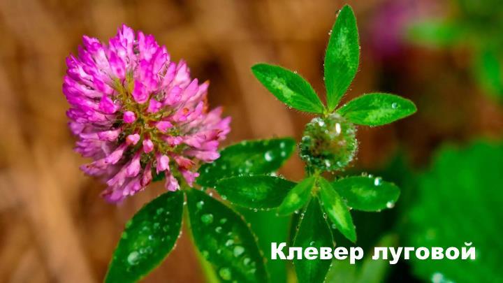 Луговой цветок - Клевер луговой