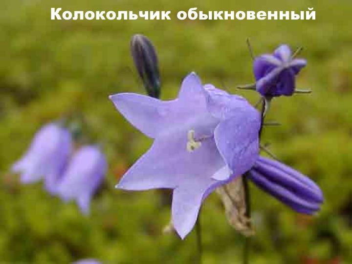 Луговой цветок - Колокольчик обыкновенный