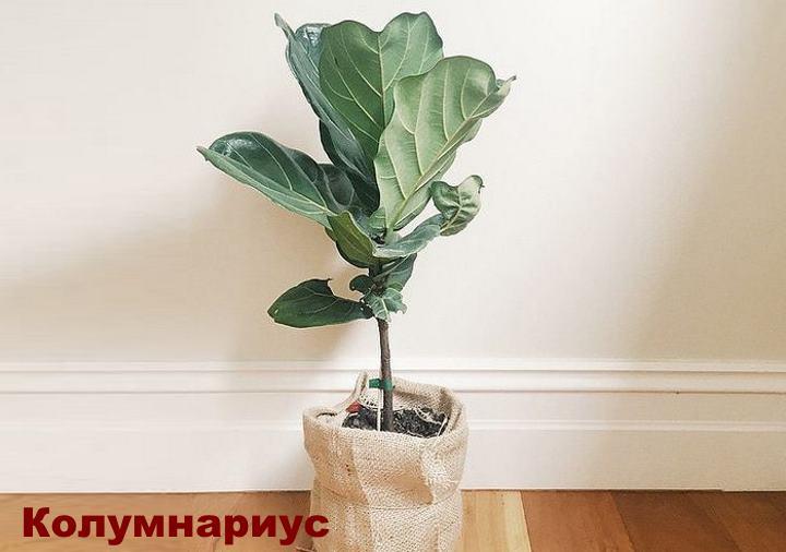 Вид растения - Колумнариус Фикуса лирата