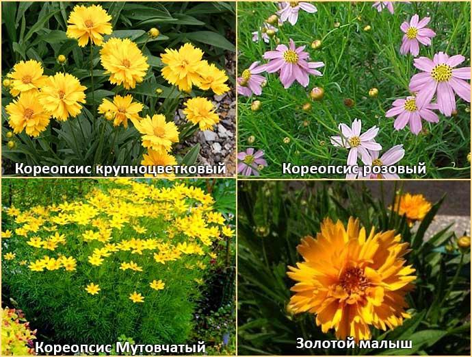 Кореопсис крупноцветковый, мутовчатый, розовый и золотой малыш