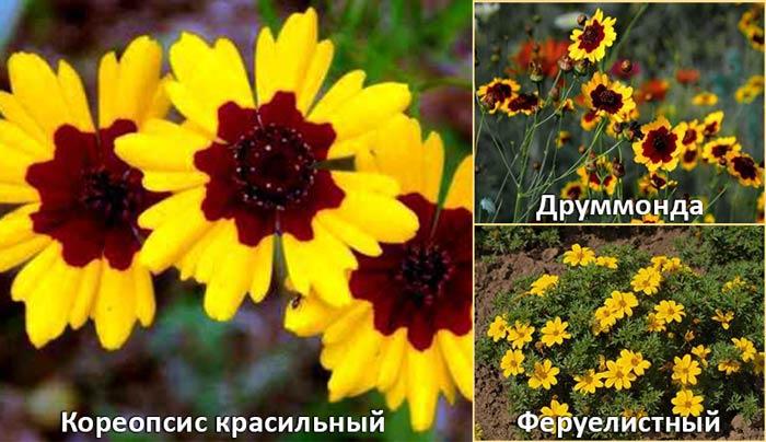 Кореопсис красильны, Друммонда и Феруелистный