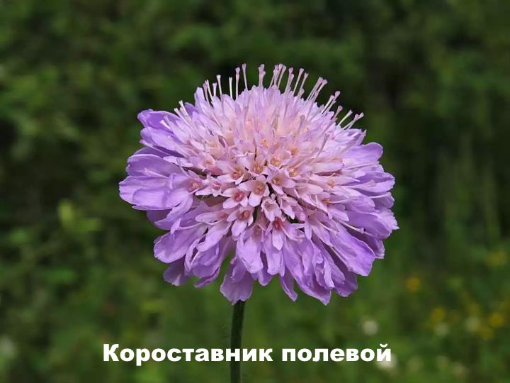 Луговой цветок - Короставник полевой
