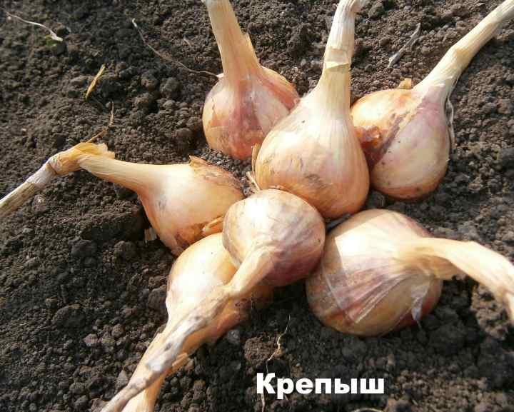 Сорт лука-шалот - Крепыш