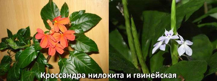 Кроснадра - нилокита и гвинейская