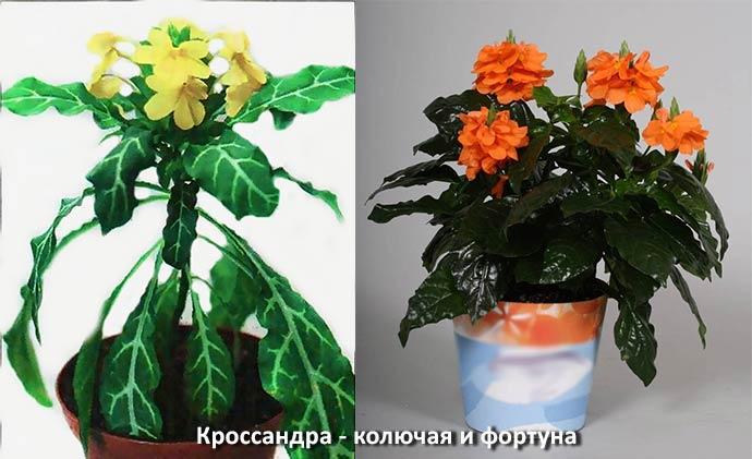 Кроснадра - колючая и фортуна