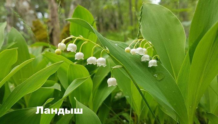 Луговой цветок - Ландыш