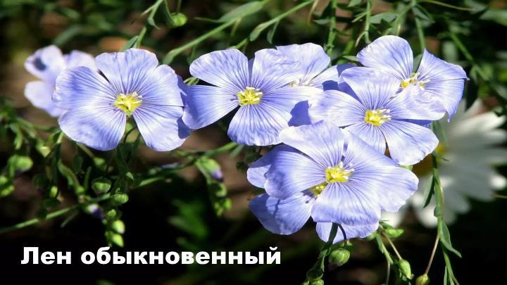 Луговой цветок - Лен обыкновенный