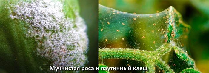 Мучнистая роса и паутинный клещ
