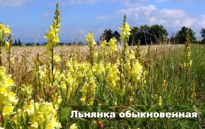 Луговой цветок - Льнянка обыкновенная
