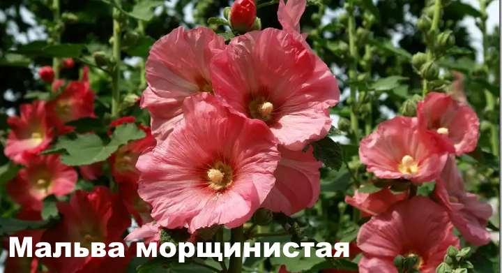Сорт растения - Мальва морщинистая
