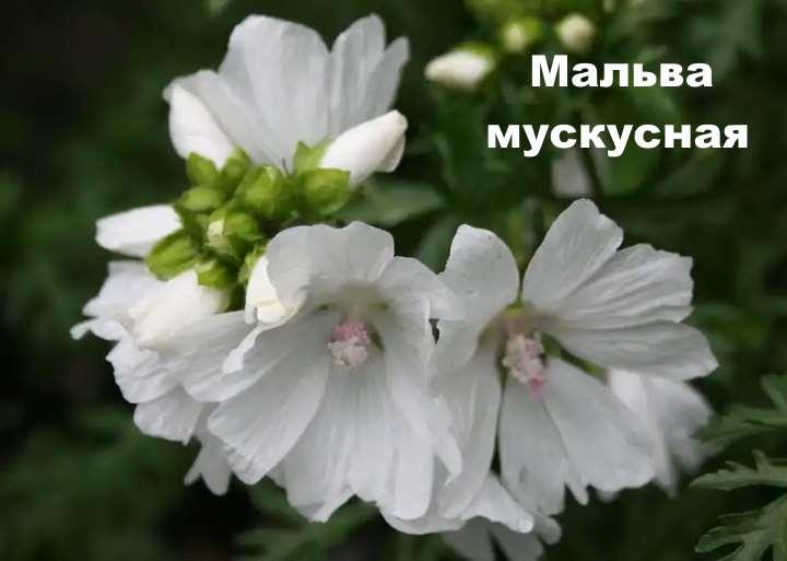 Сорт растения - Мальва мускусная